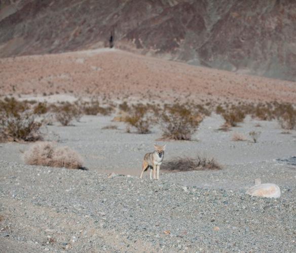 Coyote010215
